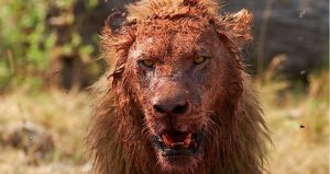 Pemburu Ini Dimakan Singa Yang Diburunya, Tersisa Kepalanya Saja