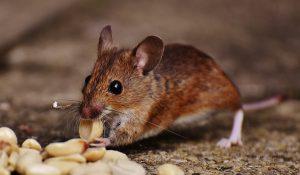 Restoran Vancouver Menyangkal Menyajikan Tikus Mati Dalam Menunya